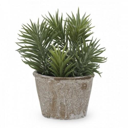Sedum Succulent