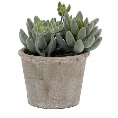 Echeveria Succulent - Small